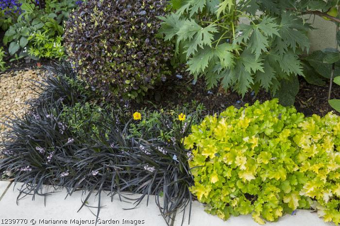 Pittosporum tenuifolium 'Tom Thumb', Ophiopogon planiscapus 'Nigrescens', Heuchera 'Lime Rickey'