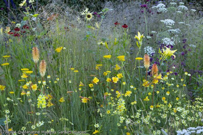 Kniphofia, hemerocallis, Ammi majus, Achillea 'Coronation Gold',  Coreopsis verticillata 'Grandiflora', helenium, cirsium