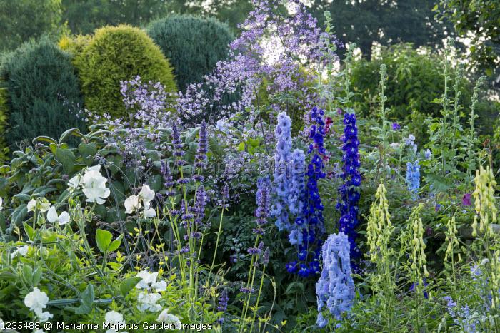Cottage garden, Delphinium 'David's Magnificent' and 'Nobility', Thalictrum rochebrunianum, Lathyrus odoratus 'Jilly', Agastache rugosa, Aconitum vulparia