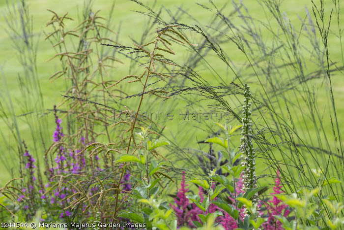 Molinia caerulea subsp. arundinacea 'Black Arrow', Aruncus 'Horatio'