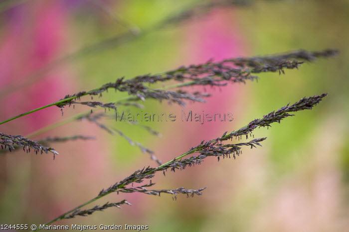 Molinia caerulea subsp. arundinacea 'Black Arrow'