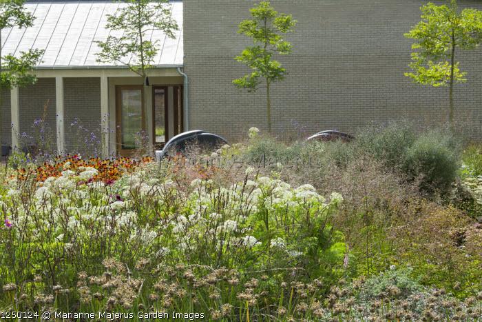 Selinum wallichianum, Kentucky coffee tree, Gymnocladus dioica, Allium 'Summer Beauty', Sporobolus heterolepsis, Molinia caerulea 'Edith Dudszus'