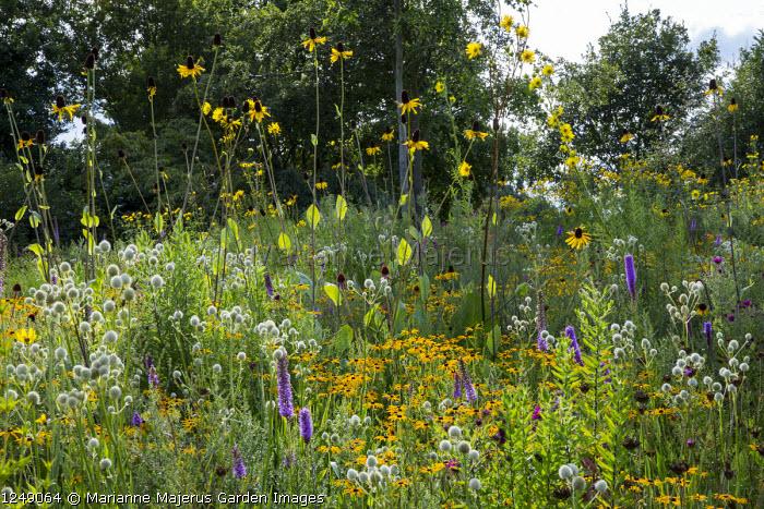 Perennial meadow, Eryngium yuccifolium, Liatris pycnostachya, Rudbeckia fulgida var. deamii, Rudbeckia maxima,