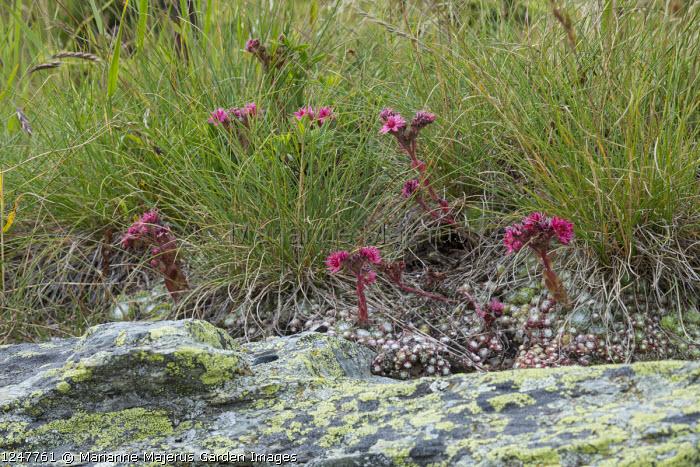 Sempervivum arachnoideum, rock