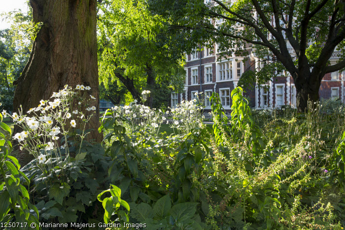 Anemone x hybrida 'Honorine Jobert' around base of tree