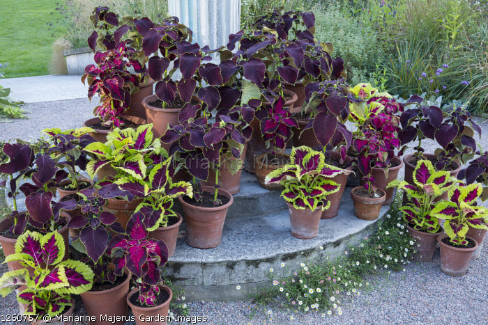 Collection of coleus in terracotta pots on steps around sundial