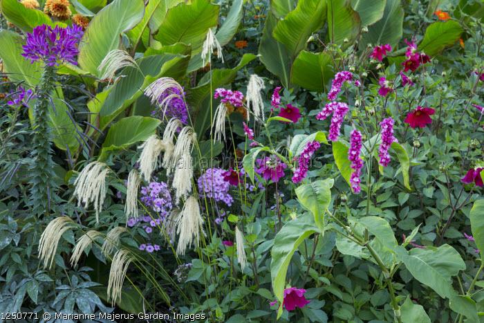 Persicaria orientalis, cleome, dahlia, Miscanthus nepalensis