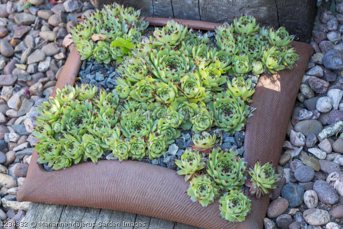 Sempervivums in terracotta pot