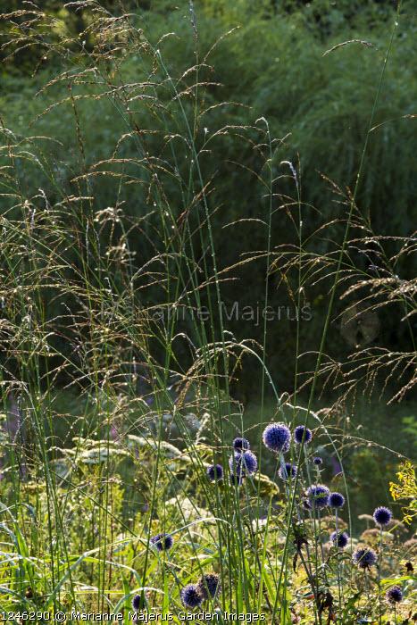 Echinops ritro 'Veitch's Blue', molinia