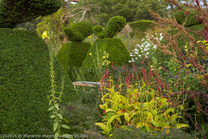 Yew topiary, wooden bench, Persicaria amplexicaulis, Oenothera biennis, Cosmos bipinnatus