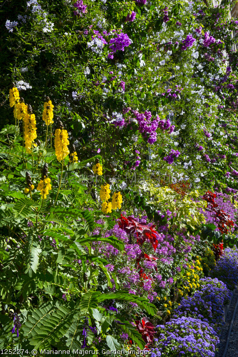 Bougainvillea and solanum growing against house wall