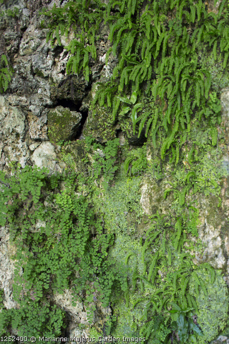 Ferns on tufa wall