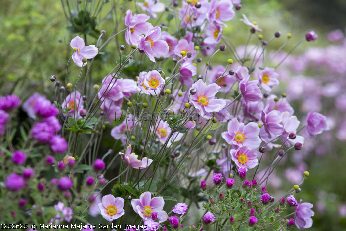 Japanese anemones, symphyotrichum syn. aster