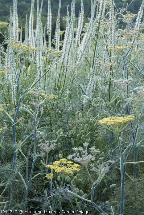 Foeniculum vulgare 'Purpureum', Veronicastrum virginicum 'Diane'