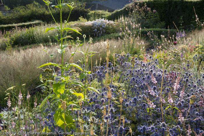Eryngium bourgatii 'Picos Blue', Linaria purpurea 'Canon Went', Dipsacus pilosus, Molinia caerulea subsp. caerulea 'Poul Petersen'