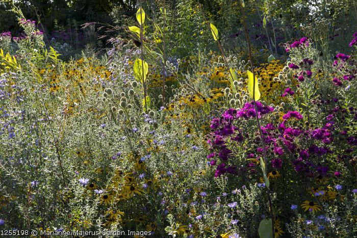 Symphyotrichum novae-angliae 'September Ruby' syn. aster, Rudbeckia fulgida var. deamii, Eryngium yuccifolium, Rudbeckia maxima, aster