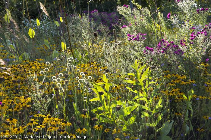 Symphyotrichum novae-angliae 'September Ruby' syn. aster, Rudbeckia fulgida var. deamii, Eryngium yuccifolium, Rudbeckia maxima
