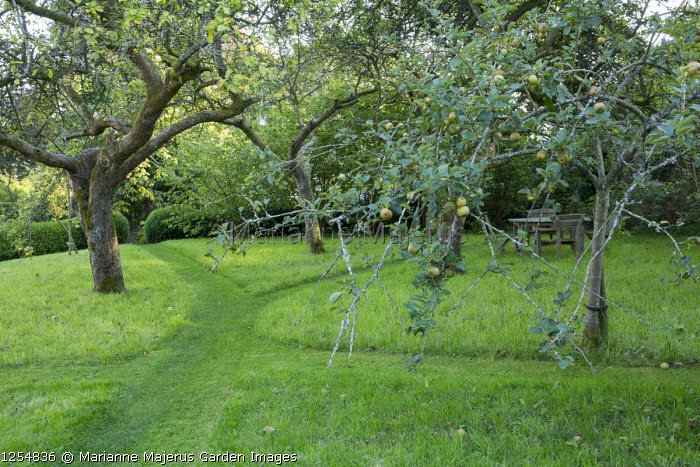 Mown paths through grass in orchard, wooden table and chairs, apple trees