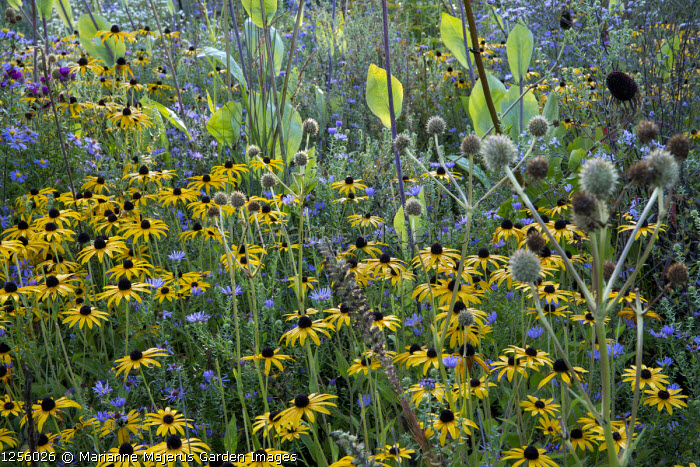Rudbeckia fulgida var. deamii, Eryngium yuccifolium, Aster oblongifolius, Rudbeckia maxima, Aster oblongifolius