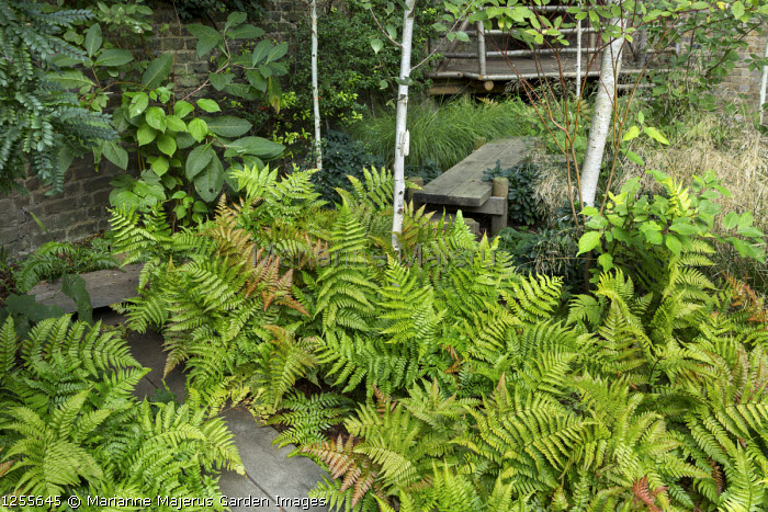 Timber boardwalk through shady garden, Dryopteris erythrosora, Betula utilis var. jacquemontii in London garden