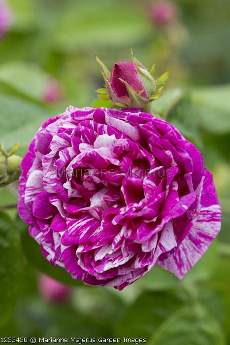 Rosa 'Camayeux'