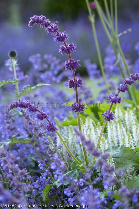 Salvia verticillata 'Purple Rain', Nepeta racemosa 'Walker's Low', Salvia x sylvestris 'Schneehügel', Echinops ritro 'Veitch's Blue'