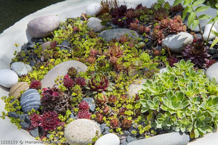 Sempervivums and succulents in container, pebbles