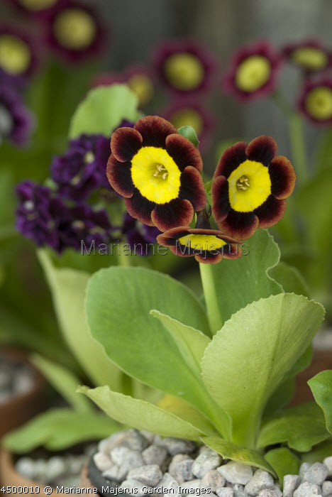 Primula auricula 'Butterwick' in terracotta pot