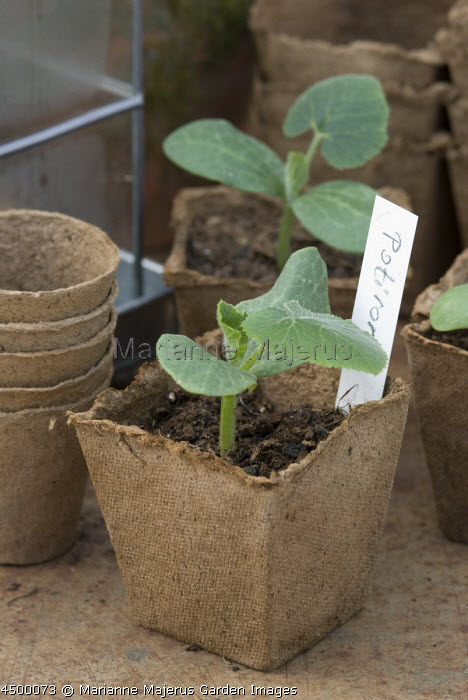 Pumpkin seedlings in biodegradable coir pots on potting bench