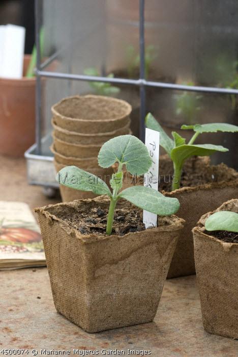 Pumpkin seedlings in biodegradable coir pots on potting bench