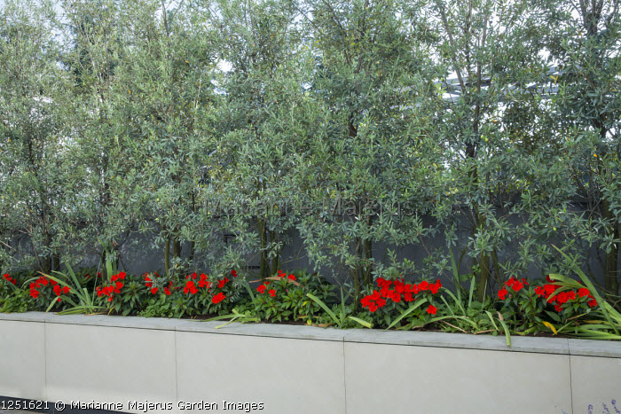 Olea europaea 'Cipressino' screen in raised bed underplanted with Impatiens New Guinea Group