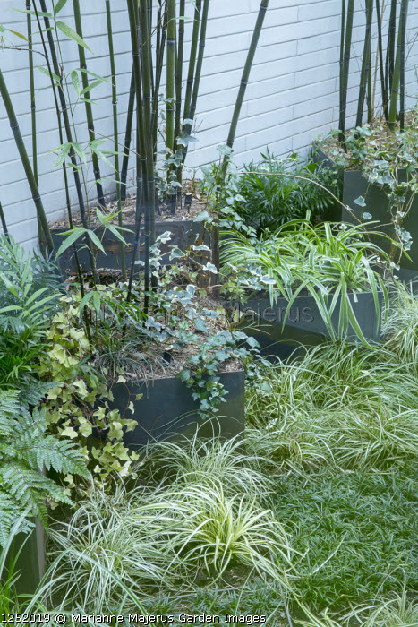 Phyllostachys nigra and grasses in contemporary raised bed in basement garden, Carex 'Ice Dance', Hedera helix 'Pittsburgh', Ophiopogon japonicus