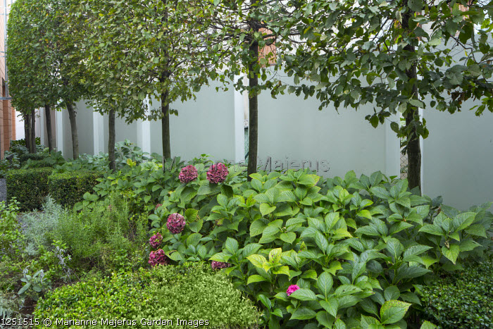 Pleached hornbeam screen in front of wall partition, clipped Buxus sempervirens cubes, Hydrangea macrophylla 'Pia'