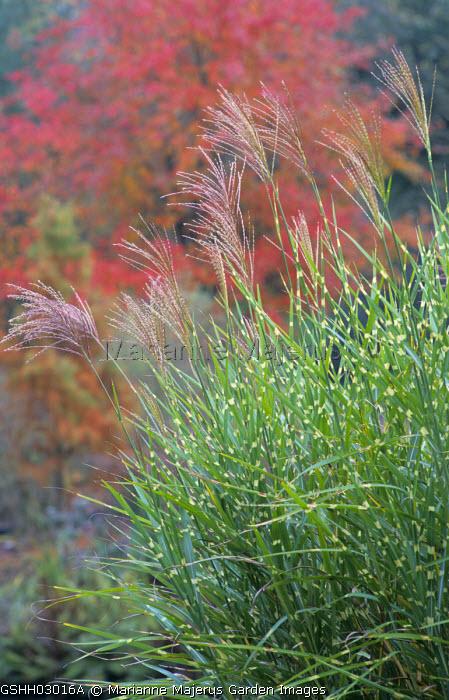 Miscanthus sinensis 'Zebrinus', autumn colour of Nyssa sylvatica 'Sheffield Park'