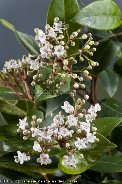 Laurustinus, Viburnum tinus - evergreen winter-flowering shrub in flower. Garden, Dorset.