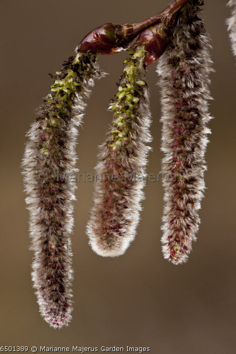 Catkins of White Poplar, Populus alba in early spring.