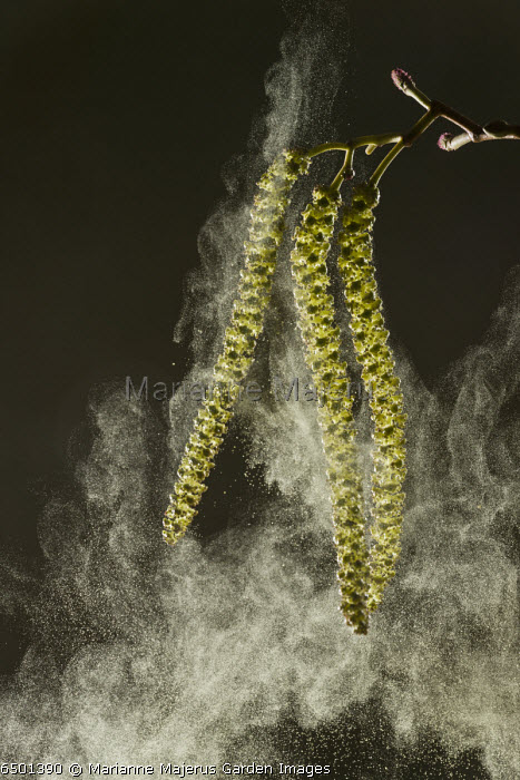 Italian Alder, Alnus cordata catkins in spring, shedding pollen; wind-pollinated. Naturalised in UK, from Italy.