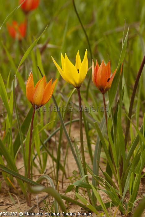 Orange Wild Tulip, Tulipa orphanidea, in arable fields at about 800 m near Tripoli, Greece