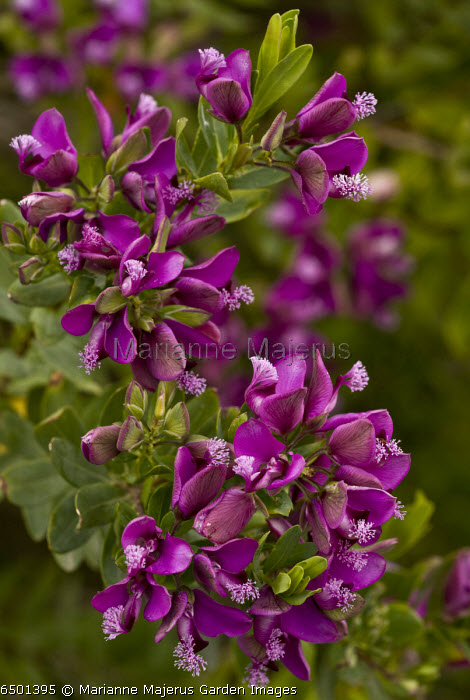 Sweet Pea Bush / Myrtle-leaved Milkwort, Polygala myrtifolia in flower, in cultivation in Sardinia. From western South Africa.