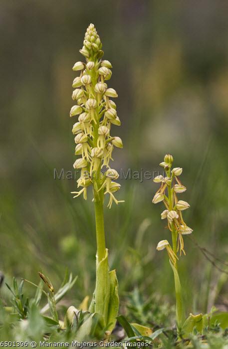 Man Orchids, Orchis anthropophora = Aceras anthropophora in flower; rare plant in UK.