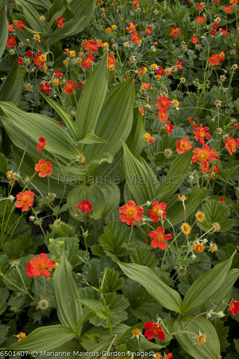 Field of Red or Scarlet Avens, Geum coccineum, growing wild with White False Helleborine, in the Rhodope Mountains, Bulgaria.