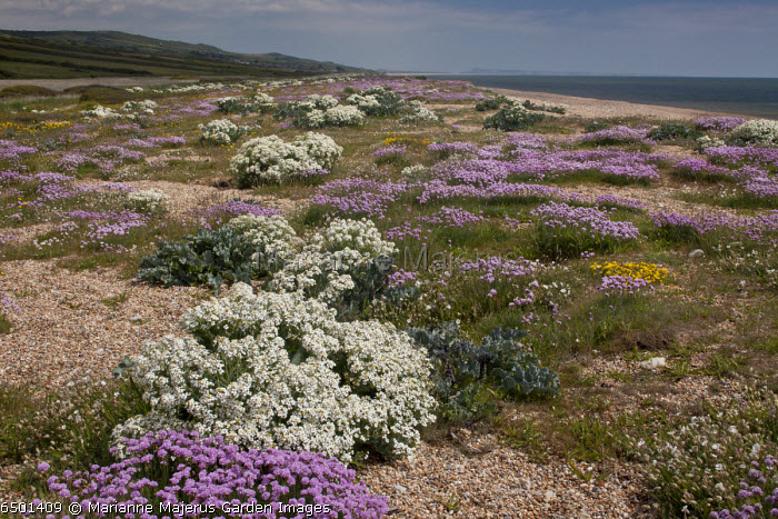 Sea Kale and Thrift on Cogden Beach - part of Chesil Beach shingle bank - with spectacular spring coastal flowers in early June. Dorset.