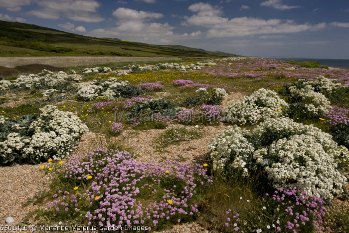 Cogden Beach - part of Chesil Beach shingle bank - with spectacular spring coastal flowers in early June. Dorset.