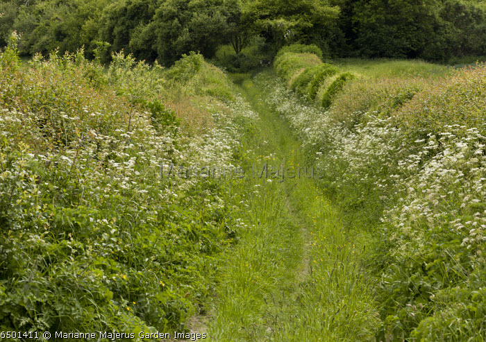Old track on chalk, with lovely wide shrub-rich hedges; Sovell Down, Dorset.