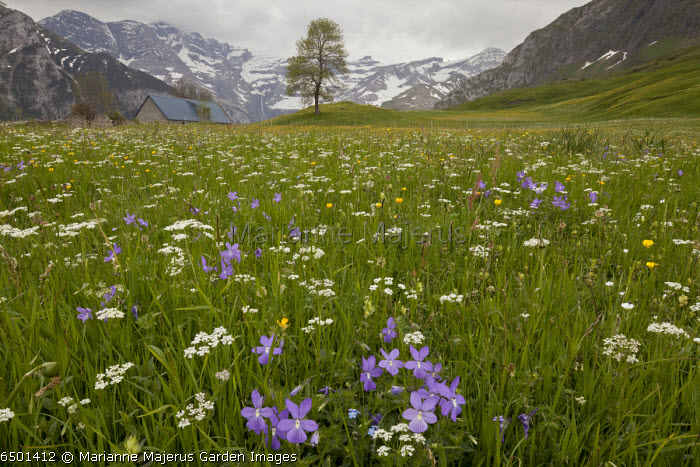 Flowery hay meadow on the plateau de saugue, Pyrenees, with Horned Pansy and other flowers. Gavarnie beyond. France.