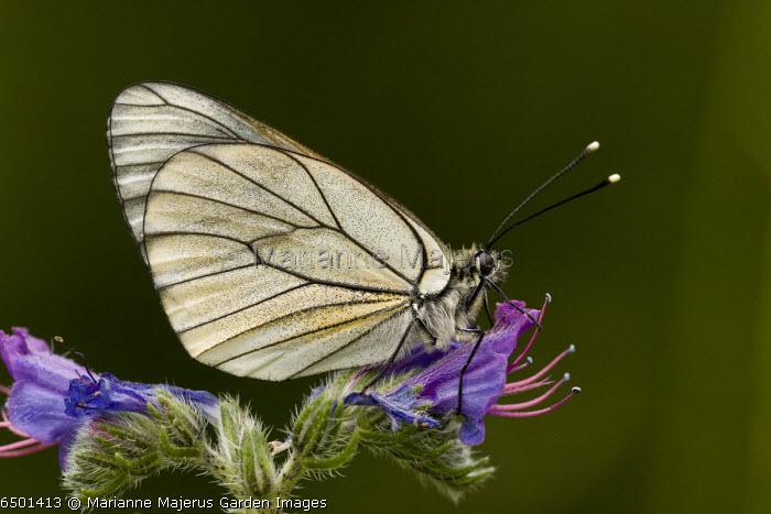 Black-veined white butterfly, Aporia crataegi on Viper's Bugloss. France.