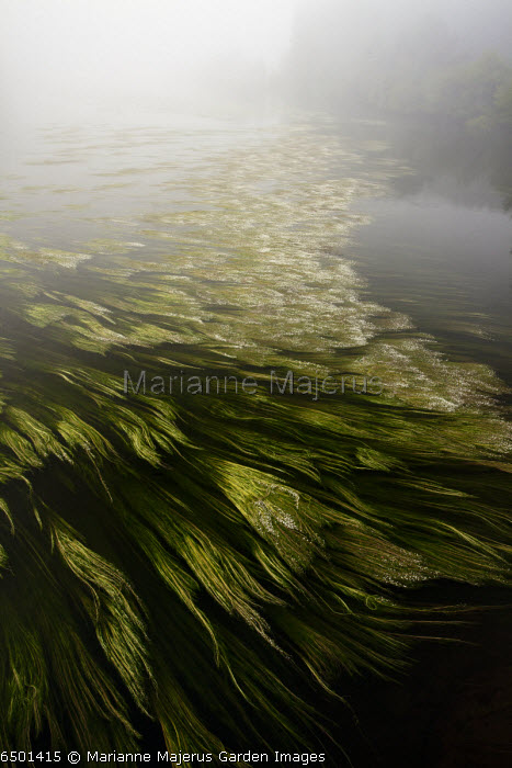 River Water Crowfoot, Ranunculus fluitans swirling in the River Dordogne, near Belvès, France.