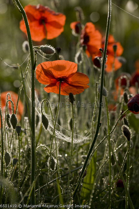 Common Poppy, Papaver rhoeas, on a misty dewy early morning.