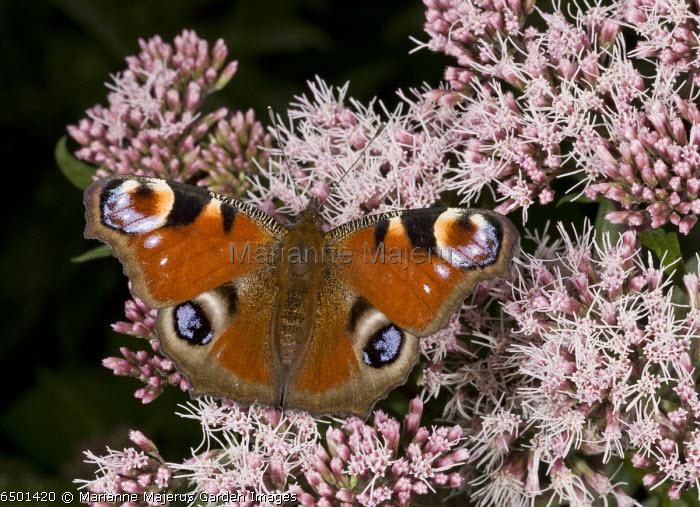 Peacock butterfly, Inachis io, feeding on Hemp Agrimony flower