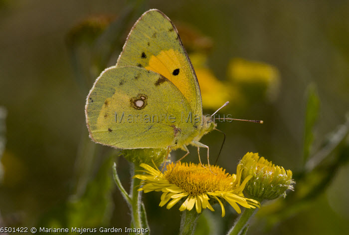 Clouded Yellow butterfly, Colias croceus, feeding on Fleabane